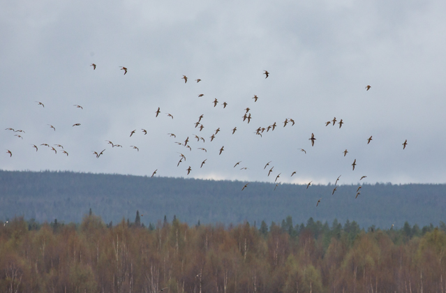 Suokukko oli Rovaniemen Niskanperän lukuisin laji muutonseurannassa 14.5.2016.